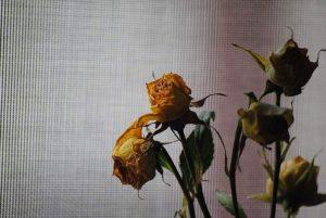 s-rose-676760_640